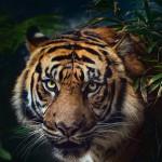 WWF: Glädjande att tigrarna blir fler i Indien