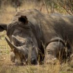 Tjuvjakt på noshörningar i Sydafrika minskar för femte året i rad